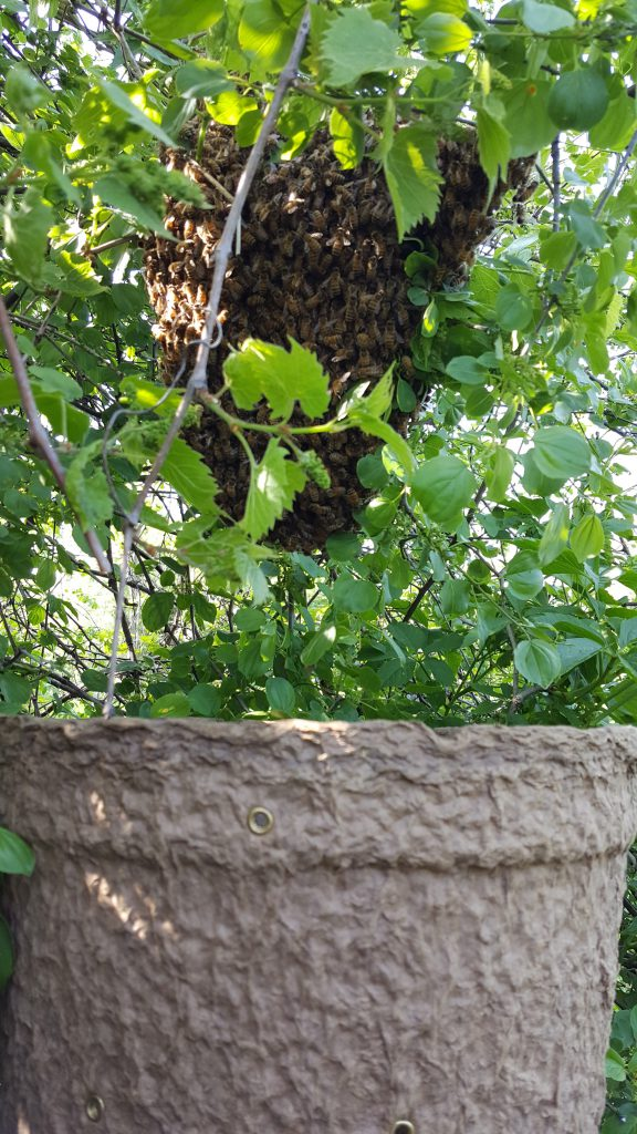3# swarm from one of my own hives.